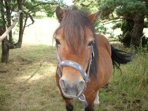 Shetland_pony_-_front