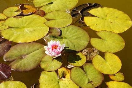 Lily pond1