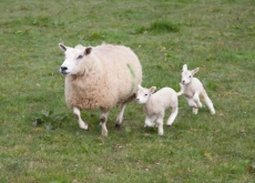 ewe-and-lambs